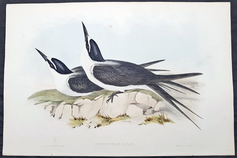 1840-48 John Gould Antique Print Birds of Australia....Bridled Tern...Sea Bird