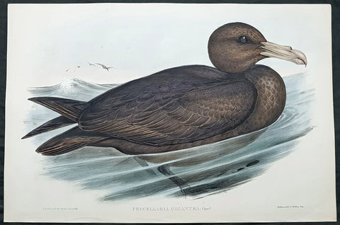 1840-48 J Gould Antique Print Birds of Australia Southern Giant Petrel, Glutton