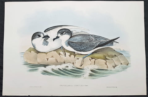1840-48 John Gould Antique Print Birds of Australia....Blue Petrel...Sea Bird