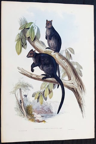 1845-63 John Gould Large Antique Print The Mammals of Australia - Tree Kangaroo