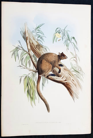 1845-63 John Gould Large Antique Print of Tree Kangaroo The Mammals of Australia