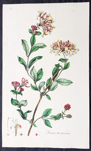 1777 W. Curtis Large Antique Botanical Print Lonicera Periclymenum - Honeysuckle