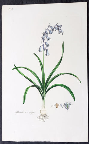 1777 W. Curtis Large Antique Botanical Print of Hyacinthus Non-Scriptus Bluebell