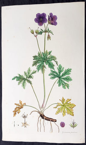 1777 W. Curtis Large Antique Botanical Print Geranium Pratense, Meadow Geranium