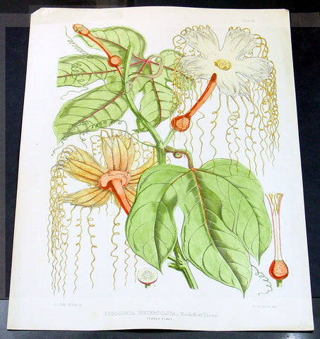 1855 Joseph Hooker & Water Fitch Large Antique Botanical Print of Lard Fruit of SE Asia - Hodgsonia