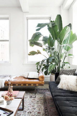 Corner of an interior with a brown leather day bed, black sofa and a big potted plant
