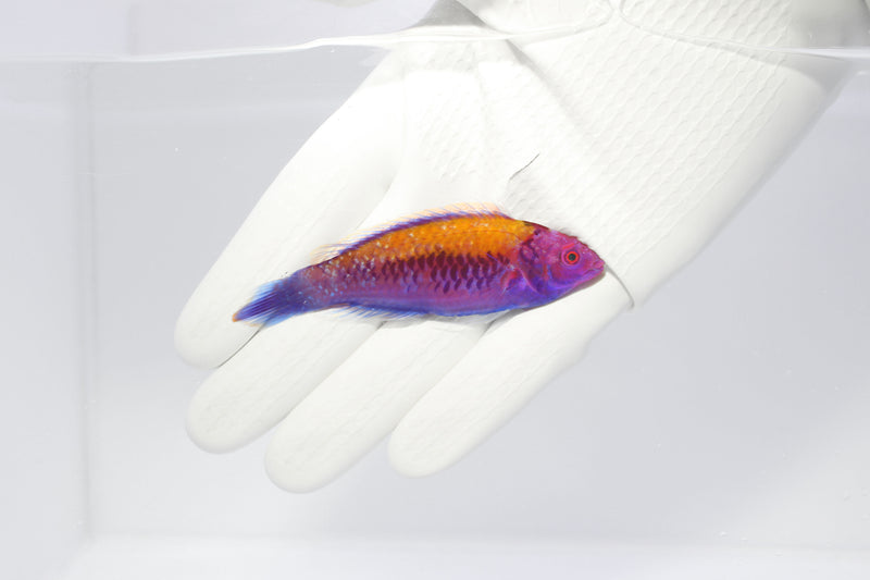 Orange Back Fairy Wrasse(Cirrhilabrus aurantidorsalis)