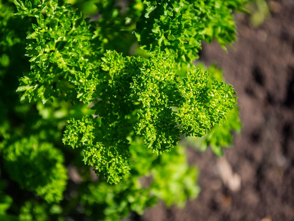 Parsley – A Piece of History in Your Kitchen
