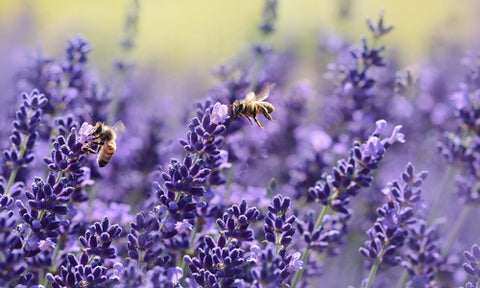 lavender for skin problems, dermatitis