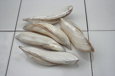 Pearl Banana Twist (x2) Mother of Peal Sea Shell - Shell Craft Natural Home Deco - Paradise Crow -  Natural Design & Interiors