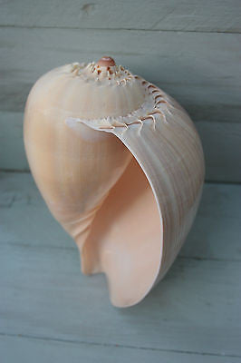 Large Melo Melo Shell- XL Shell - Sea Shells  - Sea Decoration - Large Sea Shell - Paradise Crow -  Natural Design & Interiors