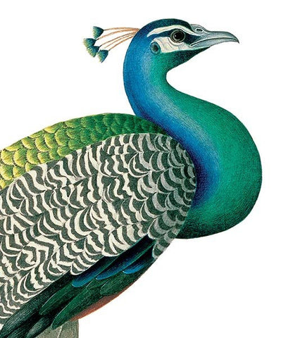 Natural History Museum Greeting Cards - Indian Peafowl  ( Peacock) - Paradise Crow -  Natural Design & Interiors