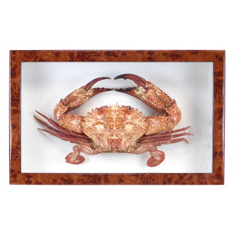 Large Taxidermy Crab Box Frame - Walnut Frame - Paradise Crow -  Natural Design & Interiors