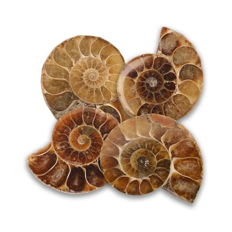 Cut and Polished Ammonite Fossils - Paradise Crow -  Natural Design & Interiors