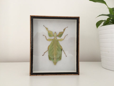 Stunning taxidermy Giant Leaft Insect - Sanna Intermedia Spe. - Paradise Crow -  Natural Design & Interiors