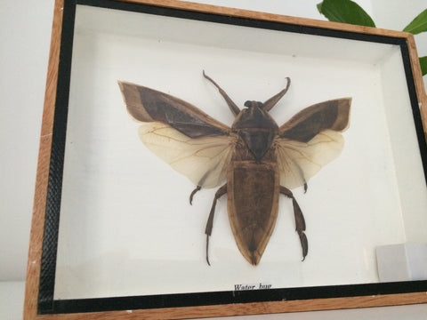 Super Sized taxidermy Water Bug - Odontolabis Elegans - Entomology - Paradise Crow -  Natural Design & Interiors