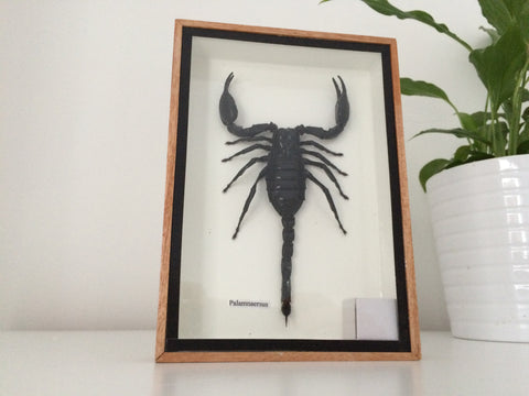 Lovely large taxidermy Scorpion - Palamnaersus - Entomology - Paradise Crow -  Natural Design & Interiors