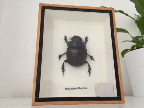 Superb taxidermy dung beetle- Heliocopris Dominus - Entomology Collection - Paradise Crow -  Natural Design & Interiors