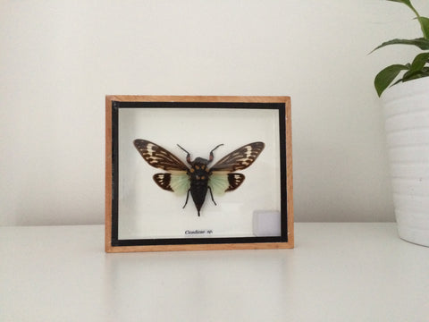 Superb taxidermy cicada insect-  Tosena splendida  - Entomology - Paradise Crow -  Natural Design & Interiors