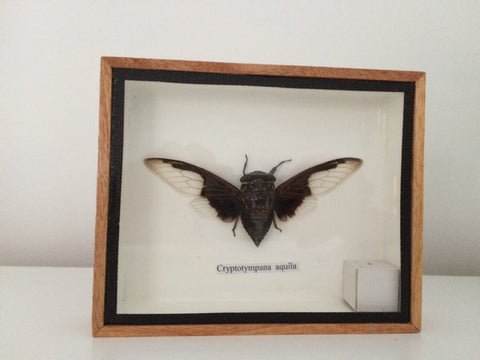 Stunning taxidermy cicada insect - Cryptotympana Aquila- Entomology - Naturalist - Paradise Crow -  Natural Design & Interiors
