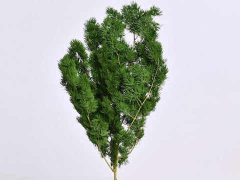 Preserved Green Ming Fern - Asparagus Fern - Paradise Crow -  Natural Design & Interiors