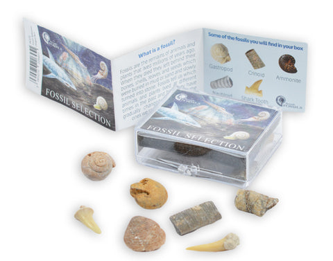 Fossil Selection Box Pack - Contains 6 Genuine Fossils! - Paradise Crow -  Natural Design & Interiors