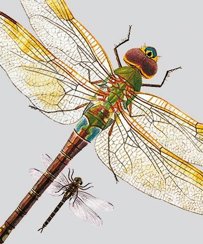 Dragonflies-  Greeting cards -  Natural History Museum Greeting Cards - Paradise Crow -  Natural Design & Interiors