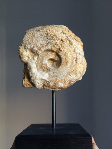 Harpoceras Ammonite on stand - Fossil Collection - Natural History - Paleontolog - Paradise Crow -  Natural Design & Interiors