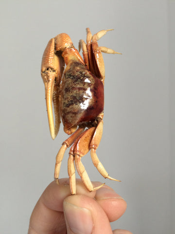 Taxidermy Fiddler Crab   - Sea life Taxidermy - Natural Home Decoration -  Crustacean - Sc-06 - Paradise Crow -  Natural Design & Interiors