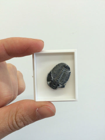 Flexicalymene Trilobit - Paradise Crow Fossil Collection - Paleontology - Fossil - Paradise Crow -  Natural Design & Interiors