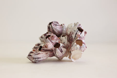 Purple Barnacle Cluster  - Natural home  decor  -  Large (012) - 12.5-17.5Cm - Paradise Crow -  Natural Design & Interiors