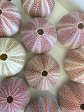 Natural Celtic Sea Urchin - Large Colourful. Natural Home Decoration. Urchin Shells 10-12cm - Paradise Crow -  Natural Design & Interiors