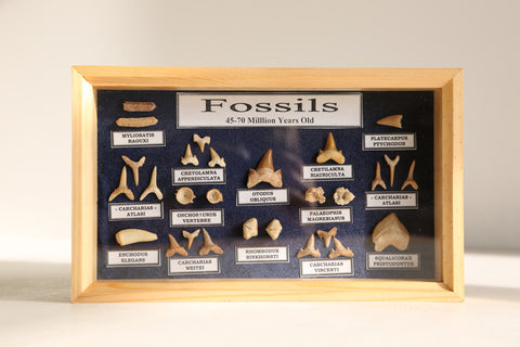 Fossil Shark Teeth Collection - Jurrasic Dinosaur Fossils - Paradise Crow -  Natural Design & Interiors