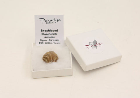 Boxed Brachiopod ( clam) Fossil - high quality fossil- Paradise Crow Discovery f - Paradise Crow -  Natural Design & Interiors