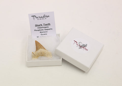 Boxed Shark Teeth Fossil - high quality fossil- Paradise Crow Discovery fossil c - Paradise Crow -  Natural Design & Interiors