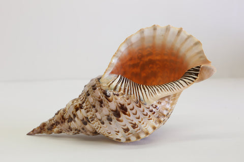 Giant Charonis Tritonis / Triton's Trumpet  40cm+ Large Collectors Sea Shell - G - Paradise Crow -  Natural Design & Interiors