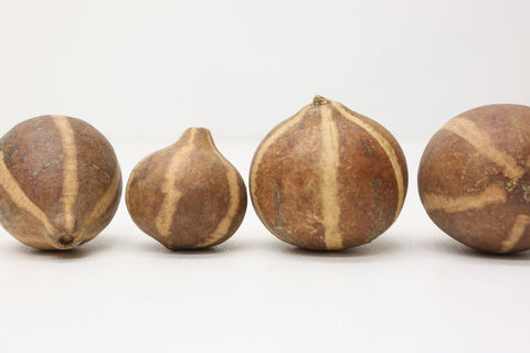 10 x Bellani Pumpkin 4-6cm - Natural Floral Supplies - Seeds , pods dried flower - Paradise Crow -  Natural Design & Interiors