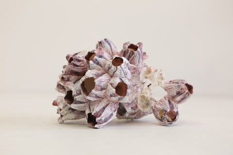 Purple Barnacle Cluster  - Natural home  decor  -  Large (01) - 12.5-17.5Cm - Paradise Crow -  Natural Design & Interiors