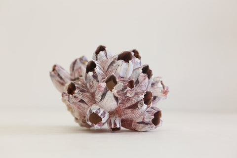 Purple Barnacle Cluster  - Natural home  decor  -  Large (02) - 12.5-17.5Cm - Paradise Crow -  Natural Design & Interiors