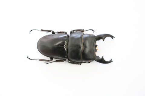 Large taxidermy beetle -  Dorcus Alcides - Etomology  Real Taxidermy Giant beetl - Paradise Crow -  Natural Design & Interiors