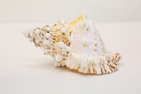 Frog Shell, Large White Seashell, Seashells, 15cm-17.5cm, Bursa Wedding Shells - Paradise Crow -  Natural Design & Interiors