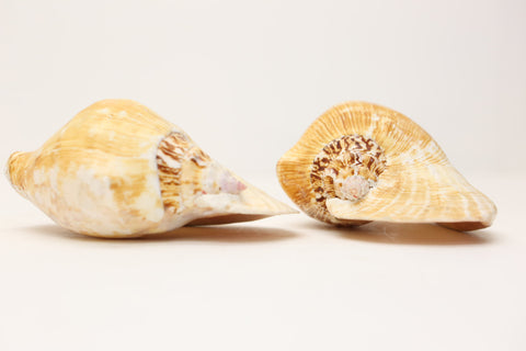 Sea Shells Milk Conch (Strombus costatus), Conch Shell approx 15cm - Large Sea Shells - Sea life - Natural Decoration- Naural History - Paradise Crow -  Natural Design & Interiors