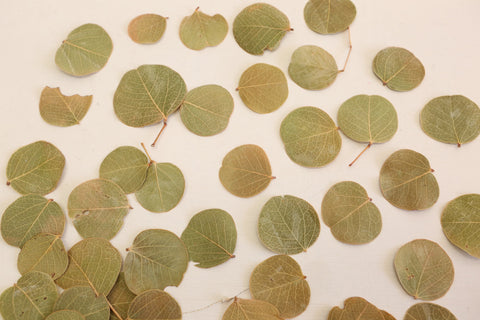 Moneta Leaves 100 per pack  - Natural Craft -Dried Leaves - Botany - Green Leaves - Dried leaf - Paradise Crow -  Natural Design & Interiors