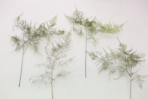 10  x Dried Press Aparagus Fern -  Fern Stems - Natural  floral Supplies - Aspar - Paradise Crow -  Natural Design & Interiors