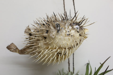 Real Taxidermy Puffer fish - Sea life- stuffed  blow fish - spikey hedgehig fish - Paradise Crow -  Natural Design & Interiors