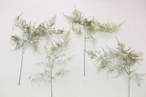3 x (10 x )Dried Press Aparagus Fern - Fern Stems - Natural floral Supplies - As - Paradise Crow -  Natural Design & Interiors
