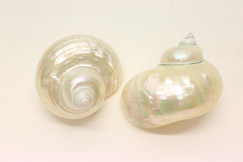 Large Turbo Borghese 9cm+ - Pearlized  sea Shells - Mother of Pearl - Natural Po - Paradise Crow -  Natural Design & Interiors