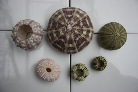 Wonderful Sea Urchin Collection -  6 x Unique Urchins -  Sea Life Taxidermy - Sputik, Green, Pink, Alphonso & 2 x Natural - Paradise Crow -  Natural Design & Interiors