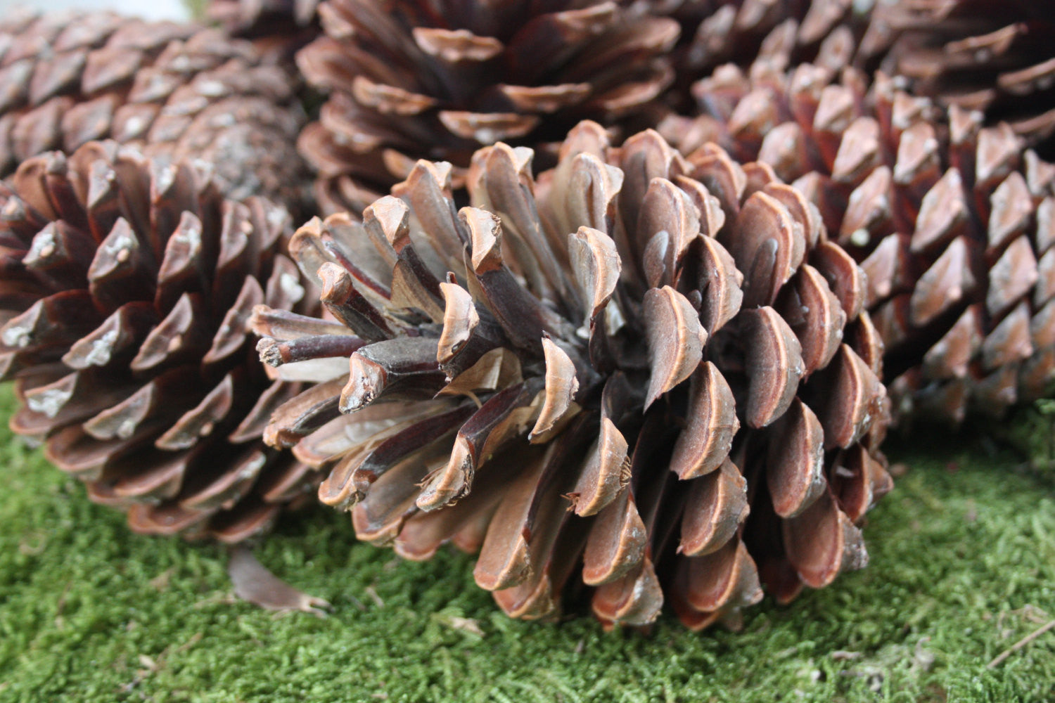 large maritime pine cones 100 natural pine cones christmas decoration