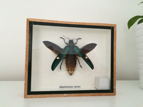Stunning taxidermy cicada insect - Tosena Fasciata - Entomology - Paradise Crow -  Natural Design & Interiors
